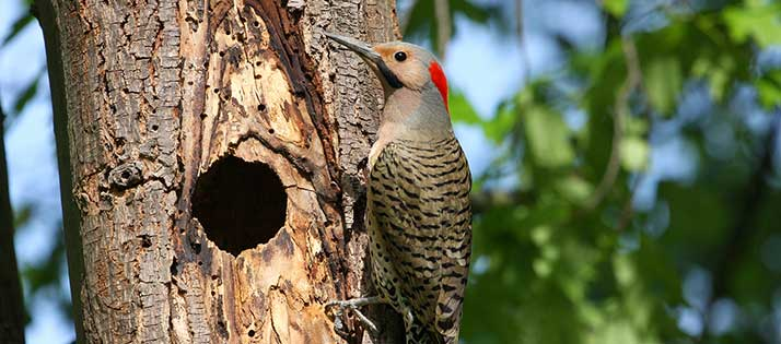 Northern-Flicker-Male-Yellow
