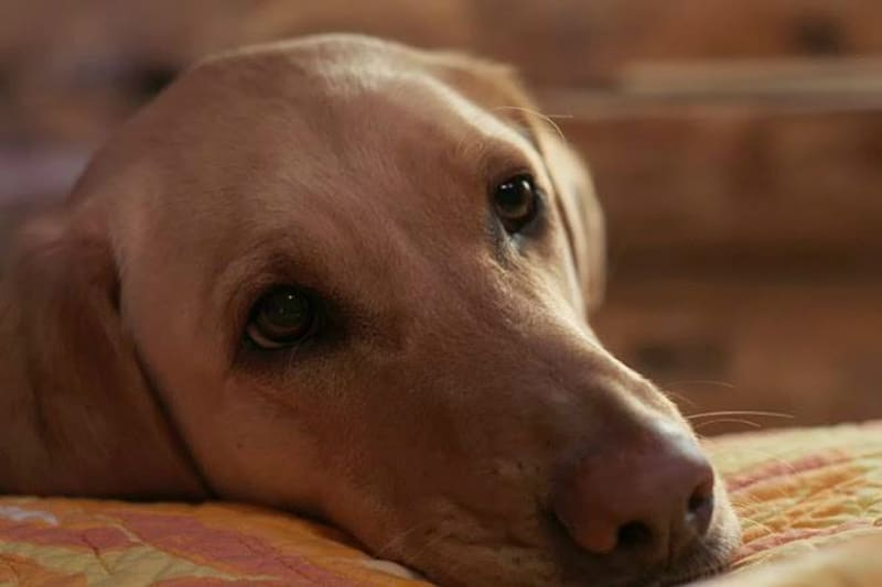 Sweet dog at Justin Trails Resort, Sparta, Wisconsin resort