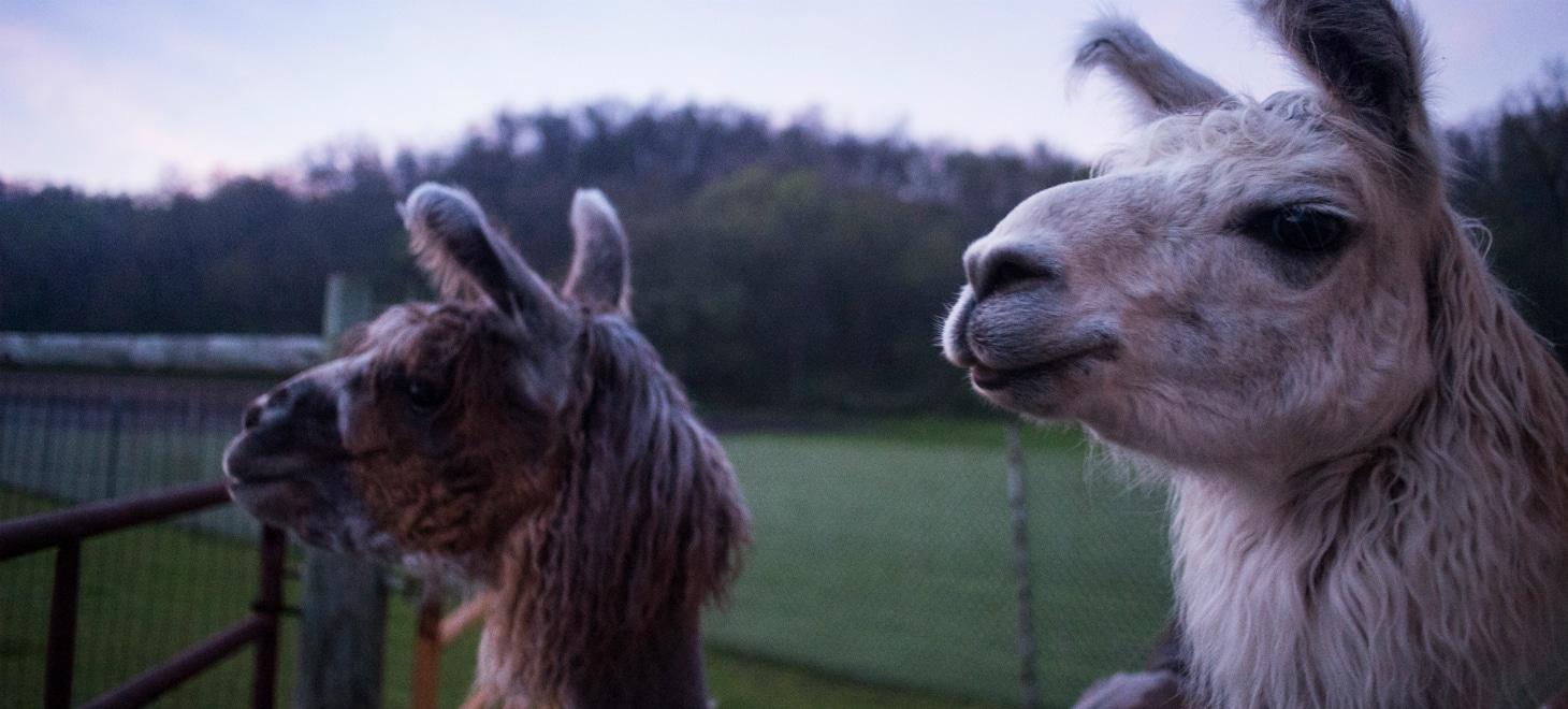 Wisconsin Getaway visit Llamas