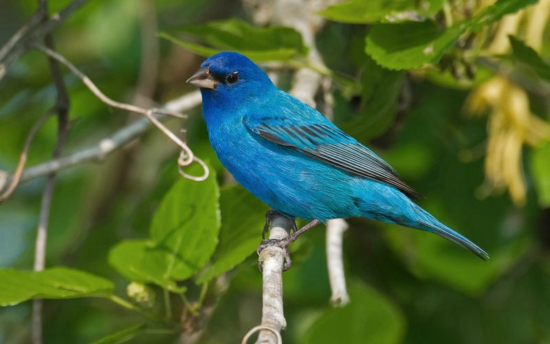 Indigo Bunting - Our organic land attracts many bird species