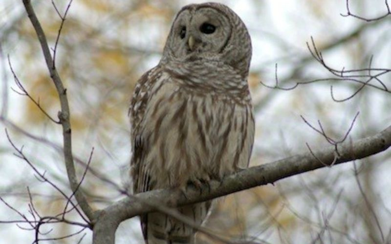 barred owl heard in the woodland at Justin Trails Resort, Sparta, WI