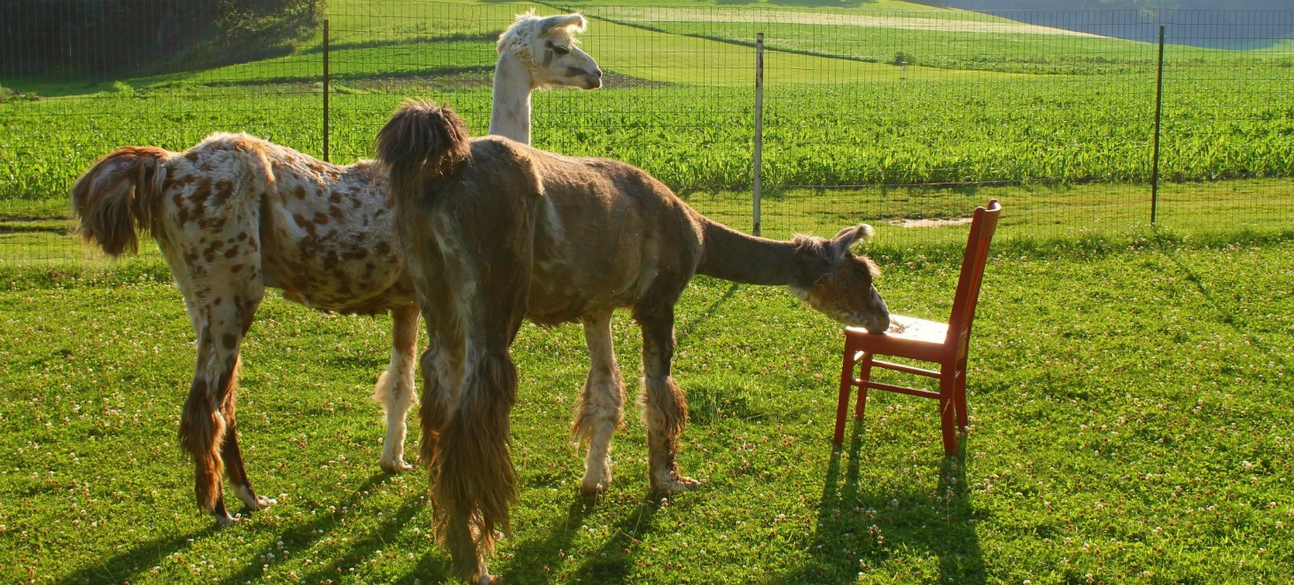 The Red Chair Travels - Llamas Dusty & Rusty Eating Treats Off The Red Chair