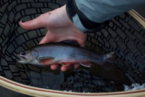 Catch and release trout fishing in Coulee Region Driftless area, Vernon County, WI