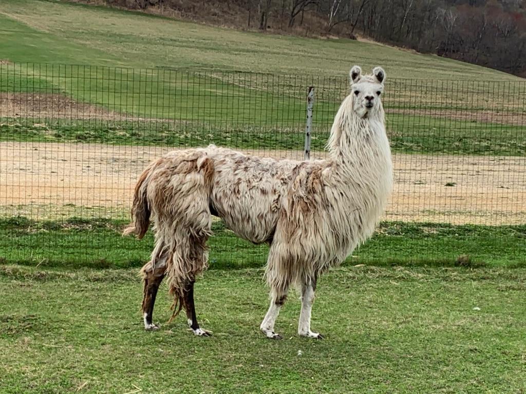 Dusty the Llama